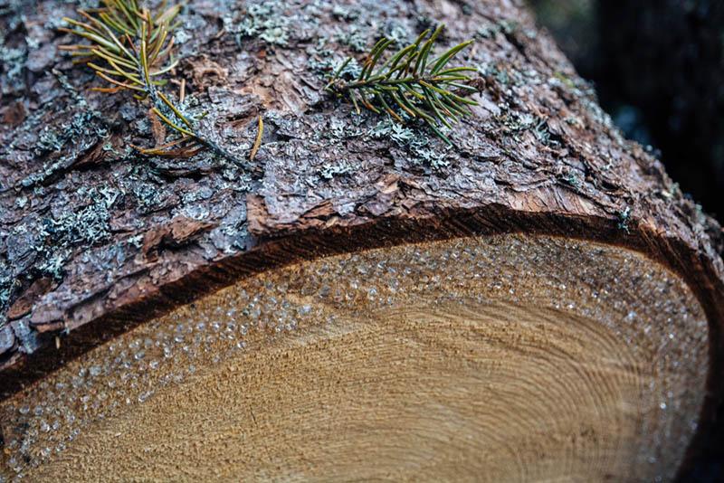 genuine pine tar