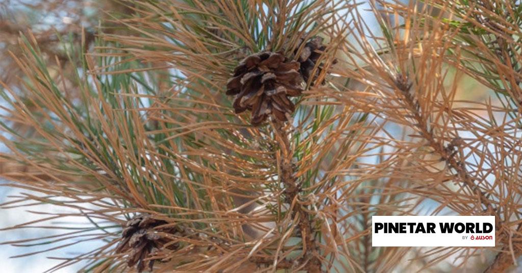 Black pine tar